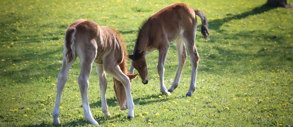 Elevage de poneys de CCE - ph. Jade Beaumont